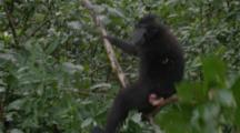 A Young Celebes Crested Macaque Swings On A Single Tree Branch