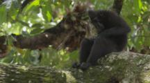 Celebes Crested Macaque Rest And Groom On A Large Tree Limb