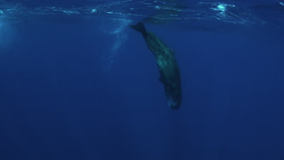 Sperm Whales Azores