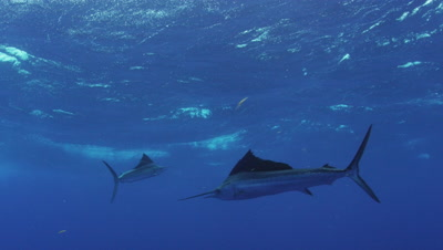 Atlantic Sailfish Mauricio Handler Stock Footage