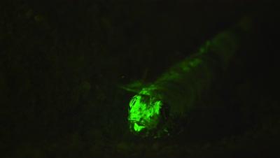 Lizard Fish under Ultra Violet LIght