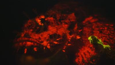 Stonefish under Ultra Violet Light