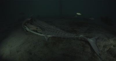 Sailfish carcass lies under a fishing dock