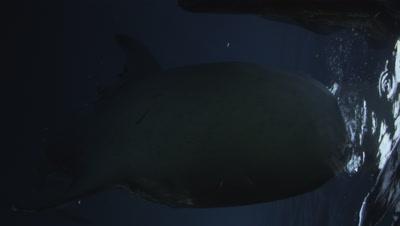 Whale Sharks under Bagan Fishing Platform