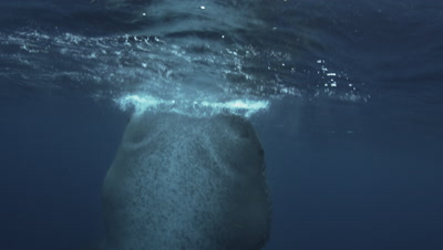 Whale Shark feeds on Bonito Spawn just below surface