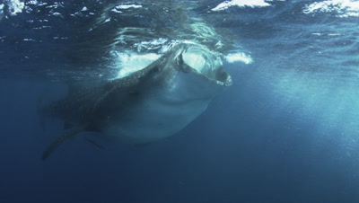 Whale Sharks feed on bonito spawn just below surface