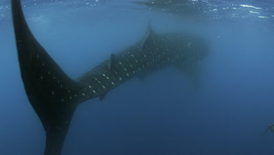 Whale Sharks feasting on Bonito Spawn