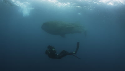 Whale Shark filmed by Cameraman during the Bonito Spawn