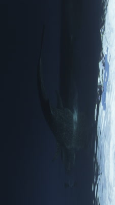 Whale Sharks Gather Under a Fishing Platform to Feed