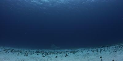 Great Hammerhead Shark,Sphyrna mokarran