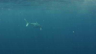 Blue shark,Prionace glauca ,Rhode Island