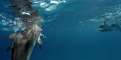 Spotted Dolphin Swimming in the wild, Bahamas