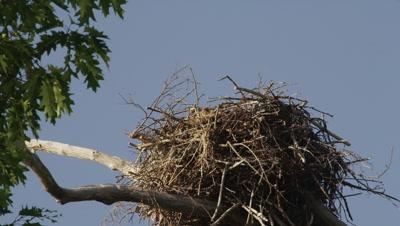 An Osprey lands on its nest