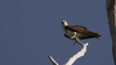 An Osprey rests on a tree branch
