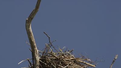 An Osprey returns to its nest