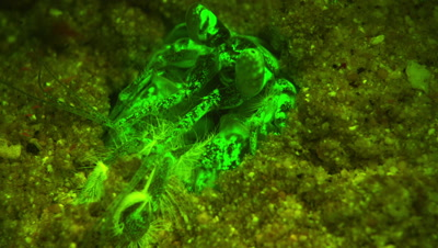 A Giant Mantis Shrimp Comes out of its burrow to build a false ceiling in order to capture prey.