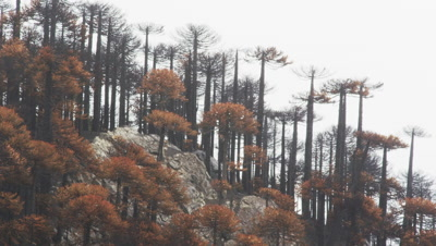 Light Rain falls on an Araucaria Araucana forest after a large forest fires bunt parts of this pristine forest - Conguillio National Park, Chile