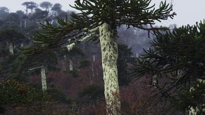 Araucaria Araucana Trees, Conguillio National Park, Chile