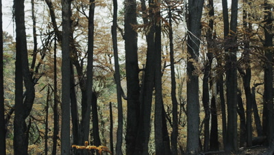 Araucaria Araucana Trees after a large forest fires in Conguillio National Park, Chile