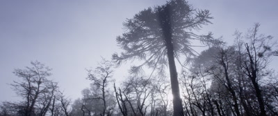 Araucaria Araucana Trees  in early morning mist Conguillio National Park, Chile