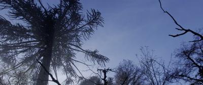 Araucaria Araucana Trees in Conguillio National Park, Chile