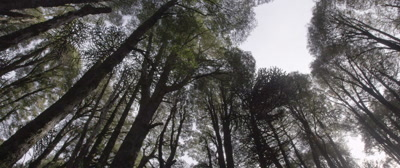 Forest Canopy, Milipeuco, Chile