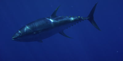 Yellow Fin Tuna, Pacific Ocean
