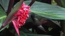 Hummingbird Feeds On Pink Flower