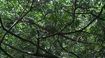 Iguana Rests In Tree Canopy