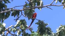 Macaw Cleaning Itself
