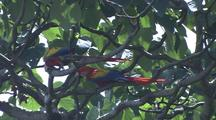 Pair Of Macaws In Tree