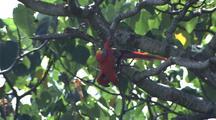 Macaw Hangs Upside Down In Tree