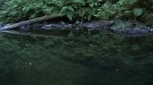 Creek With Ferns And Trees