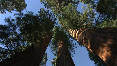 Looking Up Giant Sequoia Tree Trunks