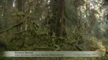 Edited Compilation Of Temperate Rainforest Of Lake Quinalt And Hoh Valley