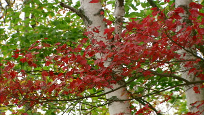 Leaves Royalty Free Stock Footage
