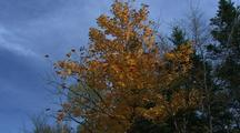 Yellow Maple Leaves Falling