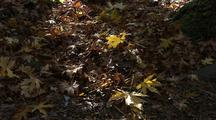 Maple Leaves Dropping To Ground
