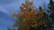 Maple Tree With Fall Colors