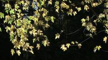 Yellow Maple Leaves With Sunlight Coming Through