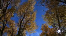 Golden Aspen Leaves Falling And Fluttering Against Blue Sky