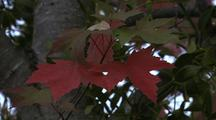Bright Red And Green Maple Leaves