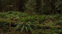 Forest Understory With Ferns