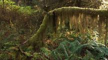 Ferns And Forest Understory And Moss Covered Trees