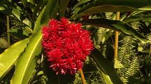 Sunlit Ferns And Red Ginger Flowers