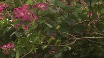 Pink Hong Kong Orchid Tree