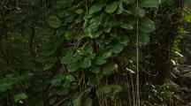 Jungle Vines; Philodendron Tree