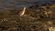 Small Brown Shorebird, Possibly Plover