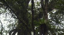 Tree Canopy With Epiphytes