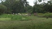 Monkey Runs Past Flock Of Yellow-Billed Storks And Zebras